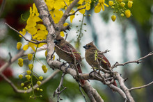Two Juvenile Northern Cardinals On A Branch