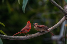 Cardinal On A Branch With Hungry Juvenile