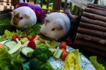 Cute Guinea Pigs Eating