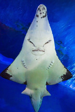 Guitarfish Or Guitar Fish In A...