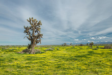 Joshua Tree And Wildflower Bloom After Recent Rains In The Calif