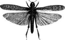 Engraving Of A Flying Garden Insect