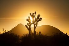 View Of Joshua Tree In Mojave Desert During Sunrise