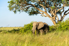 An Elephant Stands Peacefully ...