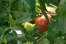 A Ripening Tomato On The Vine