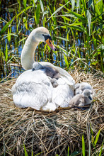 A Clutch Of Cygnets Nestled Against Their Mother, In The Spring Sunshine
