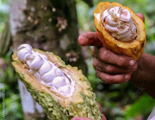 Fotografia Cacao