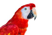 Close-up Scarlet Macaw Bird Pr...