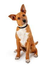 Cute Listening Pet Dog Mixed Breed Head Tilt Isolated