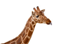 Funny Giraffe Sticking Out Ton...