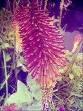 Close-up Of Red Aloe Vera Flower Bud