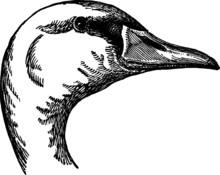 Drawing Of A Polish Swan Vector
