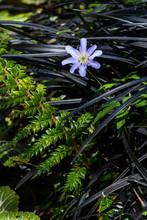 Purple Anemone Blanda Blooming Through A Bunch Of Black Mondo Grass