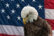 Bald Eagle Against American Flag