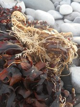 Close-up Of Seaweeds On Pebbles