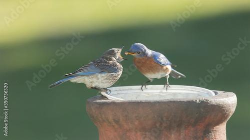Fotografie, Tablou Adult bluebird feeding juvenile bluebird