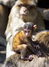 Infant On Barbary Macaque Monkey