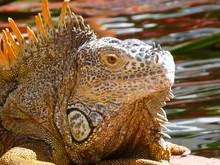 Close-up Of Iguana By Lake