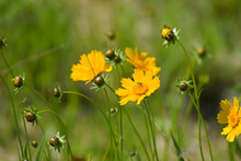 Yellow Tickseed Wildflower In Meadow