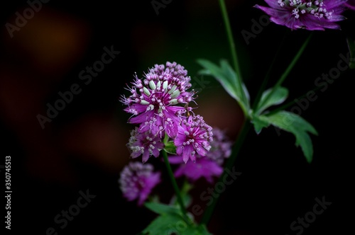 Fototapety, obrazy: Close-up Of Purple Flowers Blooming Outdoors