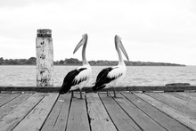 Pair Of Pelicans On Jetty