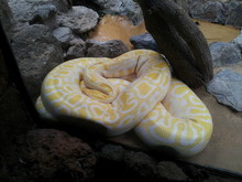 High Angle View Of Burmese Python Relaxing By Rocks