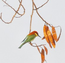 Low Angle View Of Chestnut-headed Bee-eater Perching On Branch Near Seedpods Against Clear Sky