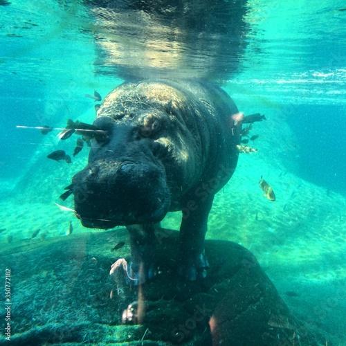 Fotografie, Tablou Close-up Of Hippopotamus In Lake