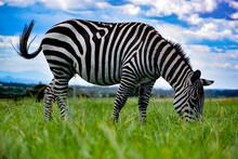 Zebra Grazing On Field Against...