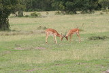 Antelopes Playing In Field