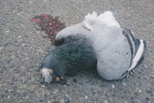 Close-up Of Dead Pigeon On Field