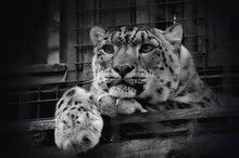 Low Angle View Of Snow Leopard In Zoo