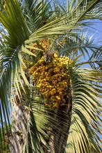 Phoenix Canariensis. Date Palm...