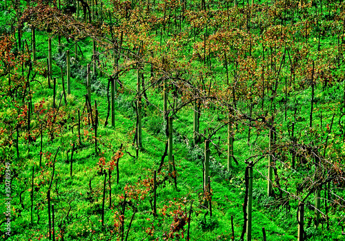 Grapevine Arbor, Vineyard, Monte Cassino, Italy Fototapeta