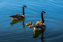 A Family Of Canadian Geese Swi...