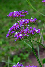 Statice Plant With Purple And White Flowers