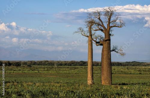 Fototapeta Baobab, adansonia zaha, Madagascar