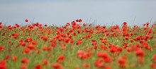 Close-up Of Poppies Blooming On Field Against Clear Sky