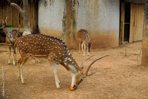 Axis Deer Standing On Field Canvas Print