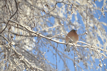 Cute Brambling Bird Resting On The Snowy Tree Branches At Lake Tekapo.