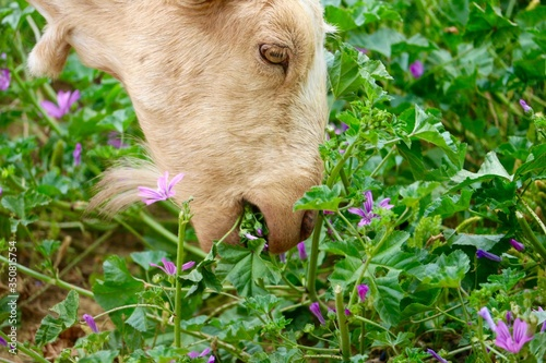 Photo High Angle View Of Goat Grazing On Field