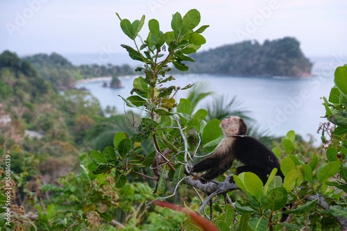 Fotografija Capuchin Monkey Sitting On Tree