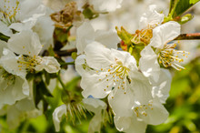 Young White Flowers Of The White Plum Plant
