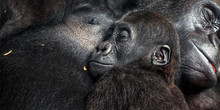 Baby Chimpanzee Sleeping At His Mother' Chest, Together With Family. Mother Love Family Concept. The Pan Troglodytes, Mother's Day