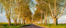Avenue Of Birch Trees In The W...