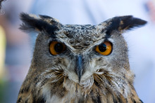 Close-up Portrait Of Great Horned Owl