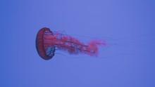 Pacific Sea Nettle Jellyfish, West Coast Sea Nettle Swimming In An Aquarium In Ripley's Aquarium Of Canada In Toronto, Ontario, Canada. - Close Up Shot
