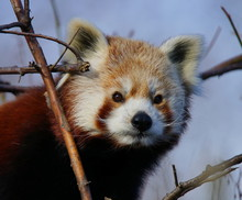 Low Angle View Portrait Of Red Panda Against Sky