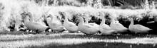 Swans On Field