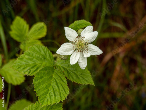 Closeup of a white flower and leaves of dewberry, Rubus caesius, in a hedgerow Fototapeta